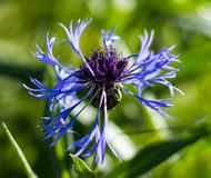 A centáurea é uma flor simples, mas ao mesmo tempo refinada e delicada ilustração royalty free