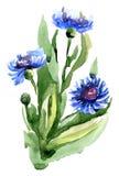 Centáurea azul com folhas verdes Ilustração da aguarela ilustração do vetor