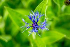 Centáurea azul da flor no fundo da grama verde Centáureas azuis no jardim do wildflower Uma vez comum dentro Fotos de Stock