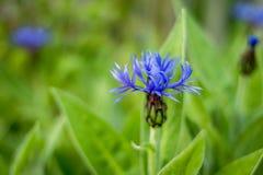 Centáurea azul da flor no fundo da grama verde Centáureas azuis no jardim do wildflower Uma vez comum dentro Imagem de Stock Royalty Free