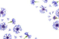 Centáurea azul isolada no fundo branco com espaço da cópia para seu texto Vista superior Teste padrão liso da configuração ilustração stock