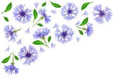 Centáurea azul isolada no fundo branco com espaço da cópia para seu texto Vista superior Teste padrão liso da configuração ilustração royalty free