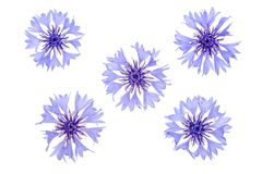 Centáurea azul isolada no macro branco do fundo ilustração do vetor