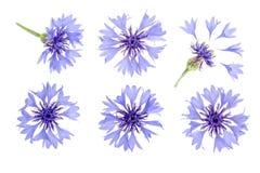 Centáurea azul isolada no macro branco do fundo Grupo ou coleção ilustração stock