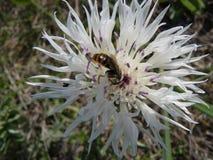 Centáurea com insetos Foto de Stock Royalty Free