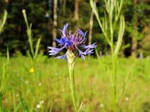 Centáurea da flor do prado do verão nos campos de Bielorrússia fotografia de stock royalty free