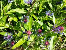 Centáurea de florescência ao princípio de junho Fotos de Stock