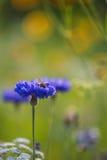 A centáurea no verão que está sendo pollenated perto tropeça a abelha Fotografia de Stock Royalty Free