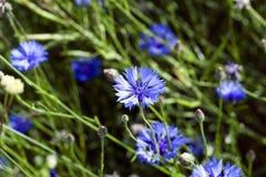 Centáurea, verão weed Imagens de Stock Royalty Free