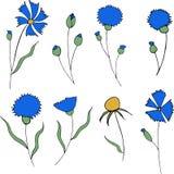 Centáureas azuis e folhas isoladas no fundo branco ilustração stock