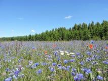 Centáureas azuis no prado, Lituânia Fotos de Stock Royalty Free
