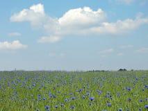 Centáureas azuis no prado, Lituânia Imagem de Stock