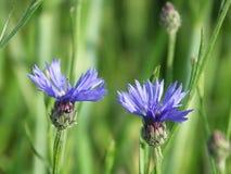 Centáureas bonitas em um fundo do campo verde Foto de Stock Royalty Free