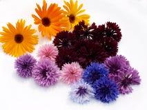 Centáureas coloridas em um fundo branco Foto de Stock