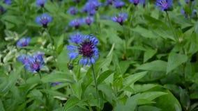 Centáureas dos Wildflowers no vento Centaurea montana filme