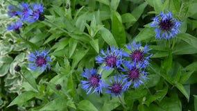 Centáureas dos Wildflowers no vento Centaurea montana video estoque
