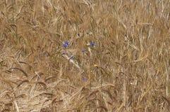 Centáureas no campo de milho Fotos de Stock