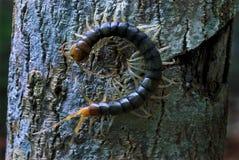 Centípede na casca de árvore Fotos de Stock Royalty Free