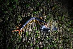 Centípede que mata uma lagarta na noite Foto de Stock