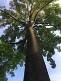 Cent arbres de Jelutong d'ans Photo stock