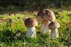 Cent babeczki borowik edulis w trawie Zdjęcia Stock