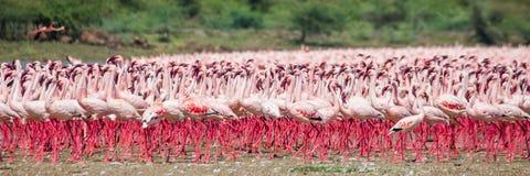 Centaines de milliers de flamants sur le lac kenya l'afrique Réserve nationale de Bogoria de lac images stock