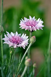 Centaurea Royalty Free Stock Image