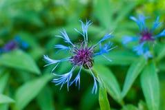 Centaurea azul Montana de la montaña del aciano del rizoma de la flor Imagen de archivo