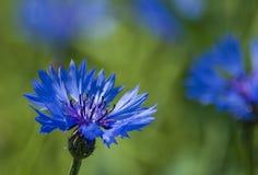 Centaurea cyanus Royalty Free Stock Image