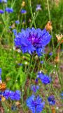 Centaurea Cyanus blue flower royalty free stock image