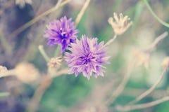 Centaurea cyanus, commonly known as cornflower Stock Photo