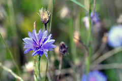 Centaurea cyanus, commonly known as cornflower Royalty Free Stock Image