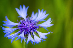Centaurea cyanus (knapweed). Beautiful knapweed on the meadow Stock Photography