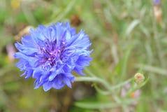 Centaurea cyanus L Immagini Stock Libere da Diritti