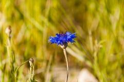 Centaurea Cyanus L. 1753 Bluebottle, Boutonniere Flower, Hurtsickle, Cyani Flower) Stock Images