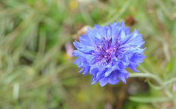 Centaurea cyanus L Royalty Free Stock Photos