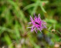 Centaurea ed insetti macchiati - 2 immagini stock libere da diritti