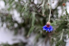 Centaurea Fleurs de bleuet en hiver image stock