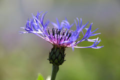 Centaurea flower Royalty Free Stock Images