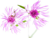Centaurea flowers isolated on white background Royalty Free Stock Photo