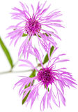 Centaurea flowers isolated on white background Royalty Free Stock Images
