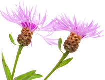 Centaurea flowers isolated on white background Royalty Free Stock Image