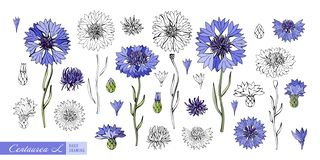 Centaurea flowers, leaves, stems, buds hand drawn in color and in black and white line. Set of Botanical illustration in vector.