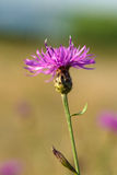 Centaurea jacea Stock Photos