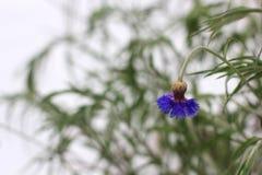Centaurea Korenbloembloemen in de winter stock afbeeldingen