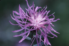Centaurea macchiata 22648   Immagine Stock Libera da Diritti