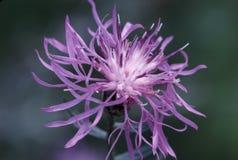 Centaurea manchada 22648   Imagen de archivo libre de regalías