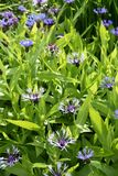Centaurea montana blue-bottle flowers. Great blue-bottle plant Centaurea montana flowering in a garden Royalty Free Stock Photos
