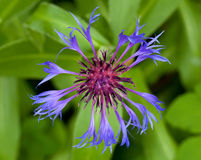 Centaurea montana. Detail of blue mountain cornflower Royalty Free Stock Photos