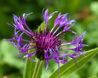 Centaurea montana. Detail of purple mountain cornflower Stock Photo